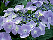 Hydrangea macrophylla 'Blueberry'