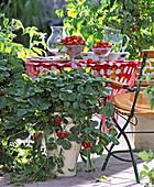 Strawberries in strawberry pot
