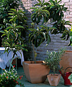 Eriobotrya japonica (loquat)