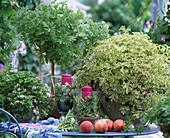 Scented Pelargonium, Pelargonium graveolens 'Princess Ann'