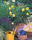 Rose 'Graham Thomas', Salvia nemorosa