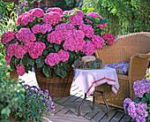 Hydrangea macrophylla 'Beautiful female devotee'
