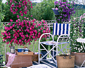 Petunia Sylvana 'Lilac Wonder', Surfinia 'Hot pink', 'Blue'