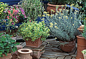 Helichrysum (curry herb), Origanum (marjoram)