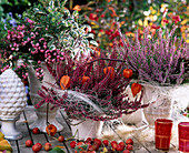 Pernettya mucronata, Calluna vulgaris 'Larissa' / rot, 'Marleen'/ rosa