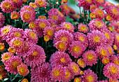 Autumn Chrysanthemum (Dendranthema Garden Mums, Dreamstar 'Erato')