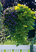 Torenia hybrid 'Blue', Ipomoea batata 'Marguerite'