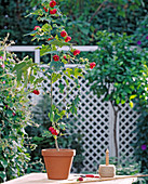Grow stems from abutilon