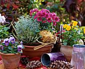 Calluna vulgaris, Santolina chamaecyparissus, Dendranthema