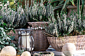 Caluna vulgaris 'Alice' (summer heather buds flowering)