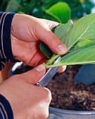 Hydrangea (Hydrangea) cuttings propagation