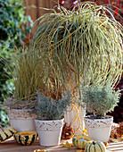 Carex hachijoensis, Acorus 'Ogon', Santolina chamaecyparisus (Heiligenkraut)