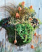 Stainless wire basket, Calluna vulgaris 'Sandy', Gaultheria