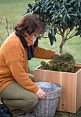Bale protection for rhododendron
