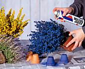 Blooming Eriken sprayed in color