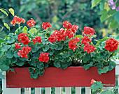 Farm Garden Geraniums in red wooden balcony box