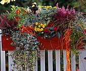 Mixed red autumn wood box with Gaultheria procumbens, Calluna vulgaris,