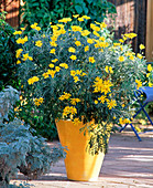 Euryops chrysantemoides (yellow marguerite)