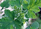 Pelargonium panduriforme 'balsam scent'