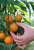 Harvest of calamondin orange, 'Fukushu'