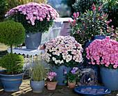 Cupressus macrocarpa, Dendranthema Garden-Mums, Autumn chrysanthemum 'Sharon'