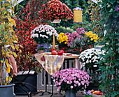 Dendranthema hybrid Garden Mums, Stewartia