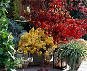 Dendranthema / Herbstchrysantheme, Acer / Ahorn