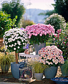 Dendranthema Garden - Mums 'Dahlian' Stämmchen,