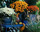 Dendranthema Garden-Mums 'Taku' white, 'Calliope' bronze