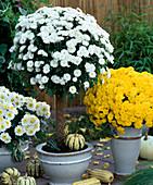 Dendranthema 'Reggi White', 'Dahlian' trunks, 'Yentai' yellow