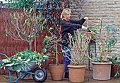 Cut back container plants for overwintering in autumn