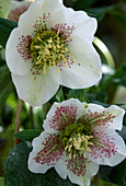 Helleborus orientalis (lilac roses)