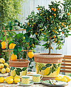 Citrus lime 'Meyeri'