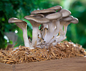 Oyster mushrooms on straw