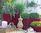 Herbal Arrangement, Rosmarinus 'Prostratus', Thymus 'Compactus'