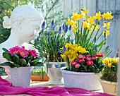 Primula acaulis (primrose), muscari (grape hyacinth)