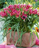 Tulipa Pulchella violacea (mini-wild tulip)