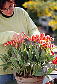 Cut back tulips after flowering