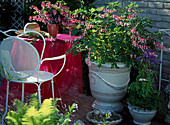 Terrace with Dicentra spectabilis (watery heart), Aquilegia