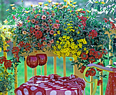 Yellow balcony with Verbena hybrid 'Babylon Cherry Red', Petunia