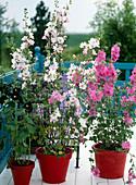 Lavatera olbia-rosea / Malve