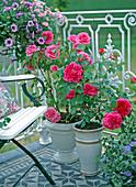English fragrant shrub roses in a glazed pot