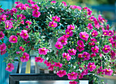Calibrachoa Celebration 'Pink'