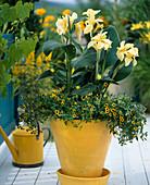 Canna indica (Indisches Blumenrohr), Sanvitalia procumbus