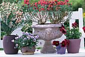 Cytisus / Ginster, Viola / Hornveilchen, Cheiranthus / Goldlack