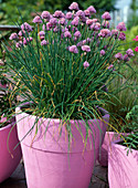 Allium schoenoprasum (Flowering Chives)