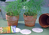Sowing anethum (dill) with seed discs
