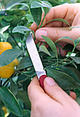 Cutting cuttings from Citrus X mitis