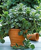 Coleus canin (Piss-Dich-Plant), Buntessel