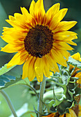 Helianthus annuus 'Ring Of Fire'
